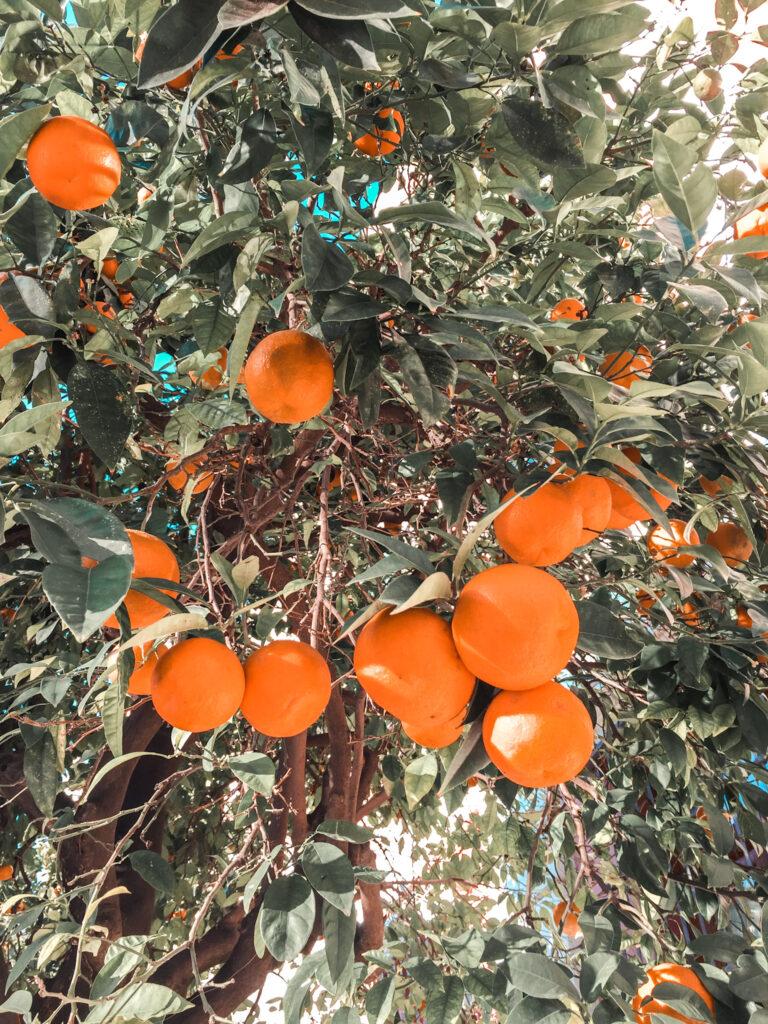 Pomorańcze w Sewilli